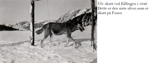 ulvjakt